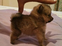 Puppies without pedigrees - Sold